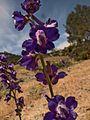 H20130601-8481—Delphinium uliginosum—Walker Ridge (9233606512).jpg