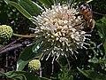 H20140814-3330—Cephalanthus occidentalis w Apis mellifera—RPBG-1 (14931183532).jpg
