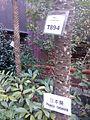 HKU trees 日本葵 phoenix roebelenii trunk n sign Jan 2016 Lnv2.jpg