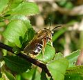 Halictus rubicundus?? - Flickr - gailhampshire.jpg