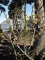 Hamamelis japonica6.jpg