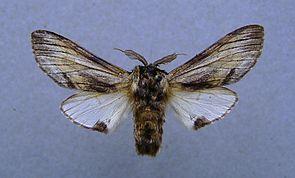 Pergamentspinner (Harpyia milhauseri), ♂