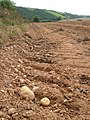 Harvested potato field in the South Hams - geograph.org.uk - 242419.jpg