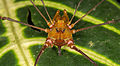 Harvestman from Ecuador (15147371976).jpg