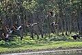 Hasties Swamp Magpie Geese sml.jpg