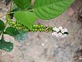 Heliotropium indicum (2).JPG