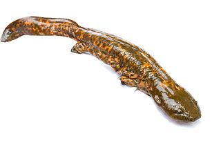Hellbender Species of amphibian