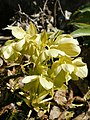 Helleborus lividus subsp. corsicus (flowers and fruits).jpg