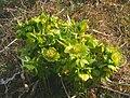 Helleborus viridis ENBLA05.jpg