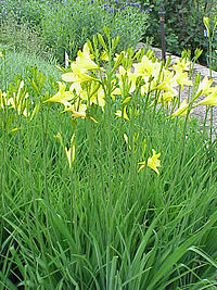 Hemerocallis sp 03