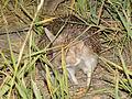 Hemiechinus auritus; Baikonur 08.jpg