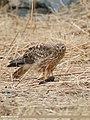 Hen Harrier (Circus cyaneus) (32928638168).jpg