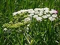 Heracleum sphondylium (5172164091).jpg