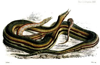 Tentacled snake - Image: Herpeton Tentaculatum Ford
