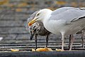 Herring Gull (7551146902).jpg