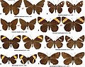 Hesperiidae (10.3897-zookeys.861.34686) Figure 1.jpg