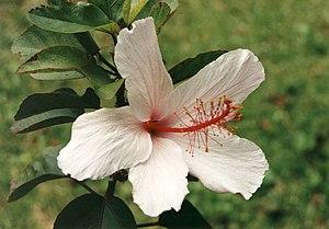 Hawaiian hibiscus - Image: Hibiscus arnottianus 1