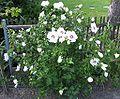 Hibiscus syriacus white.jpg