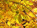 Hickory Leaves - Flickr - treegrow.jpg