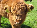 Highland Cattle 6.jpg