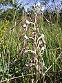 Himantoglossum adriaticum1.jpg