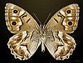 Hipparchia fidia MHNT CUT 2013 3 31 Villegailhenc male ventral.jpg