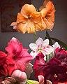 Hippeastrum vittatum flowering.jpg