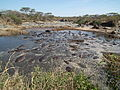 Hippopotamus amphibius in Tanzania 2812 Nevit.jpg