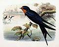 Hirundo rustica 1869.jpg
