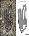 Holcoptera giebeli NHMUK I.3581 holotype and illustration.jpg