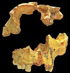 Homo antecessor - Image: Homo antecessor