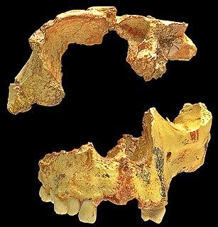 <i>Homo antecessor</i> species of mammal (fossil)