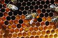 Honeybee worker 15.jpg