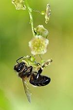 Honney bee (31246297914).jpg