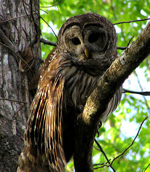 English: Barred Owl on the Hontoon Dead River,...