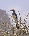 Hornbill, Tigray (14381336556).jpg