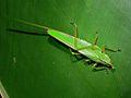 Horned Katydid Female (Copiphora hastata) (7087396899).jpg