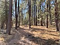 Horton Creek Trail passing through a Forrest of Arizona Ponderosa Pine.jpg