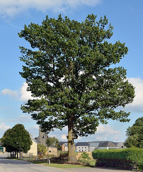 Remarkable oak (Quercus sp.) at Hovelange, Luxembourg, listed as National Monument (Inventaire supplémentaire) since 29 March 1974.