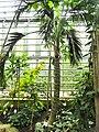Howea belmoreana - Botanischer Garten Freiburg - DSC06313.jpg