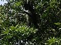 Howler Monkey, Guatemala, Laslovarga01.JPG