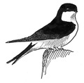 Huiszwaluw Delichon urbica Jos Zwarts 11.tif
