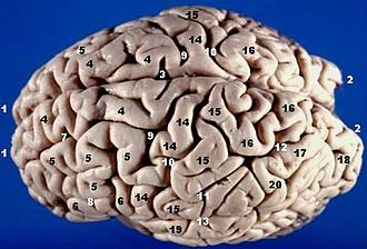 Longitudinal fissure - Image: Human brain superior lateral view description