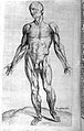 "Human muscles ""Compendiosa..."", T. Geminus, 1553 Wellcome L0002880.jpg"