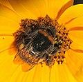 Hummel auf Sonnenblume (16680672155).jpg