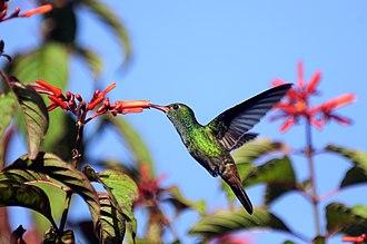 Rufous-tailed hummingbird - Image: Hummingbird at La Selva Costa Rica