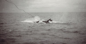Whale conservation - Whaling harpoon being used to kill a whale