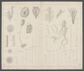 Hyalonema boreale - - Print - Iconographia Zoologica - Special Collections University of Amsterdam - UBAINV0274 112 05 0028A.tif