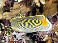 Hybrid between Sunset butterflyfish (Chaetodon pelewensis) and Spotband butterflyfish (Chaetodon punctatofasciatus).jpg