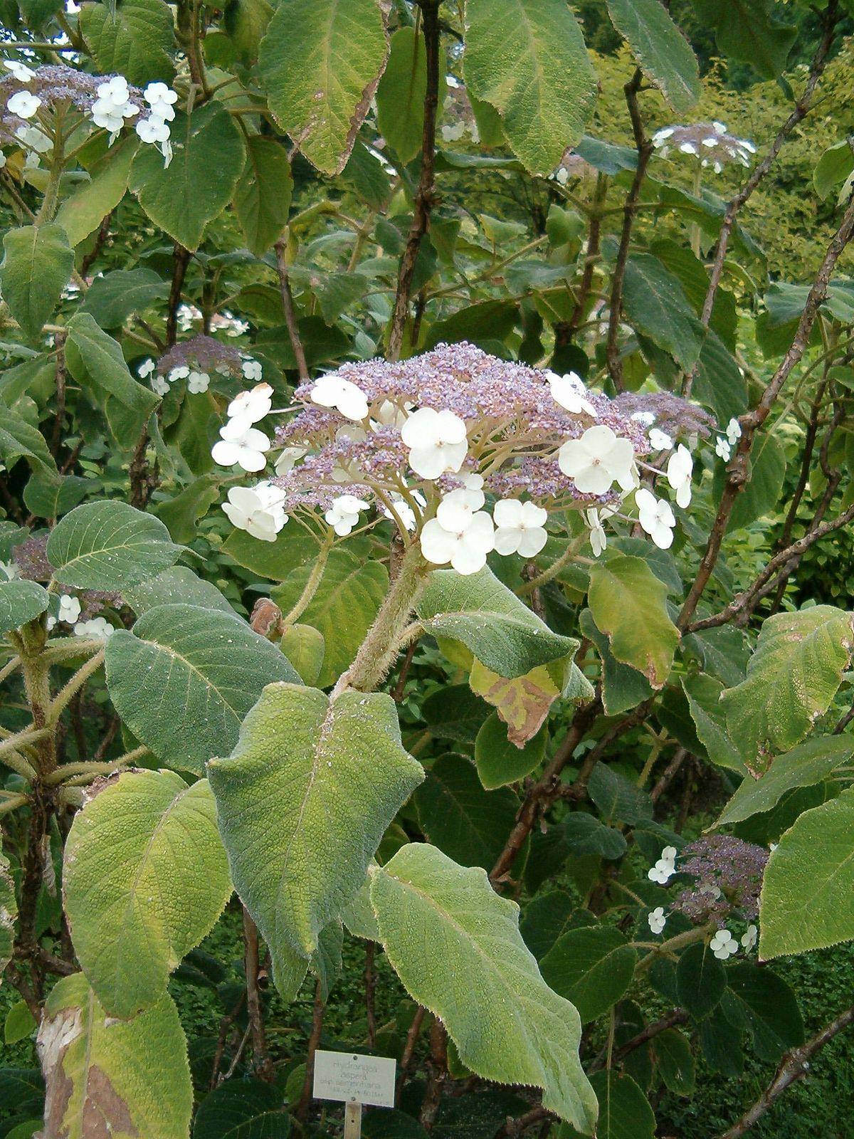 Hydrangea Aspera Subsp Sargentiana Wikispecies